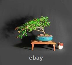 Firebush bonsai tree, One of a kind collection from Samurai-Gardens