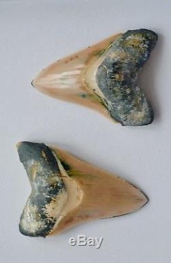 One of a Kind Associated Set of Peruvian Megalodon Teeth