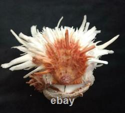 Spondylus leucacanthus 180 mm One of a Kind Self Collected Sea of Cortez
