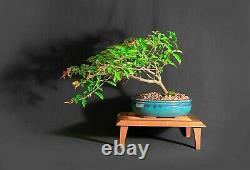 Firebush Bonsai Tree, Une Collection Unique De Samurai-jardins