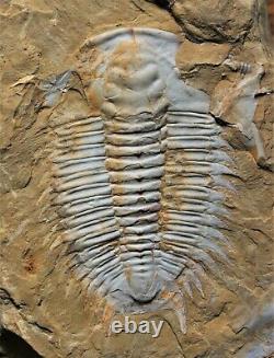 Rare Ultra Unique En Son Genre Parayiliangella Trilobite, Cambrien Inférieur De Chine, 6cm