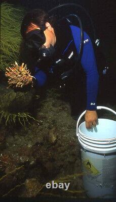 Spondylus Leucacanthus 180 MM Une De La Nature Auto-collectée Mer De Cortez