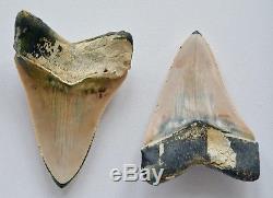 Un Des Types Associés De Dents De Mégalodon Péruvien